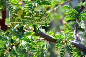 animals chameleons branch dappled sunlight nature leaves green