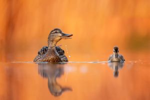 animals duck birds