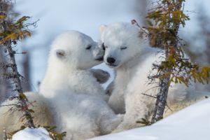 animals polar bears snow baby animals bears