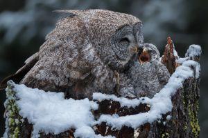 animals snow winter birds owl baby animals