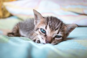 baby animals blue eyes animal eyes kittens cats animals