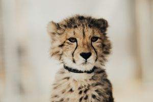baby animals cheetah animals