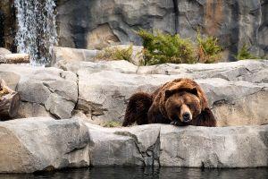 bears water animals