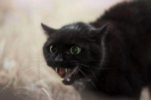 black cats animals cats