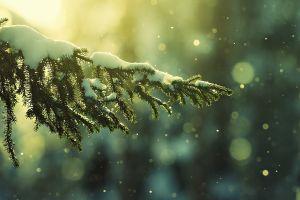 bokeh snow pine trees winter depth of field nature