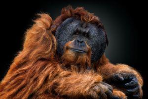 brunette black background animals brown looking at viewer apes orangutans