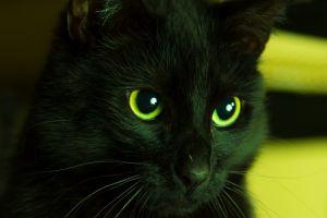 cats animals black cats green