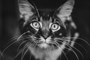 cats whiskers animals monochrome