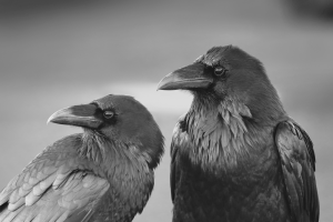 crow animals birds simple background monochrome