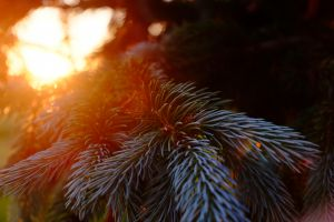 dappled sunlight branch nature pine trees lens flare sun