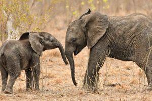 elephant wildlife baby animals animals