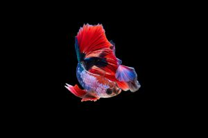fish animals amoled dark siamese fighting fish