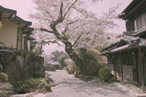 flowers village japan road cherry blossom trees