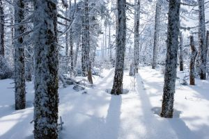 forest nature winter trees snow