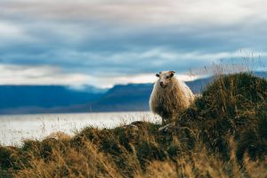 grass sea iceland sheep mountains nature landscape