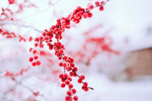 ice red outdoors twigs snow winter berries plants