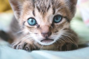 kittens animals animal eyes blue eyes cats