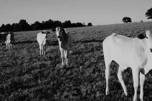 landscape cow trees monochrome animals grass