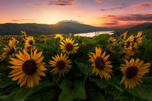 landscape sunlight flowers plants sunflowers