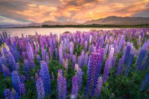 lavender field sunset nature