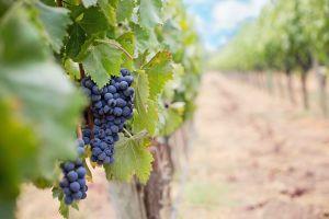leaves grapes wine fruit