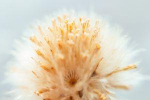 macro macro dandelion dandelion