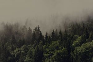 mist forest spruce