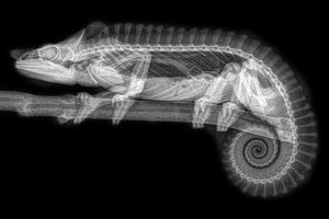 nature x-rays monochrome branch transparency spine bones black background animals chameleons