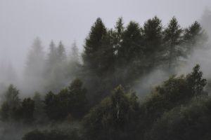 pine trees nature trees mist landscape