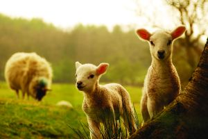 plants sheep nature animals landscape