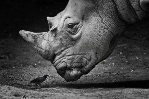 rhino animals birds georgy chernyadyev monochrome