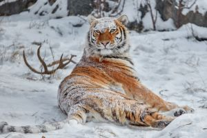 siberian tiger big cats nature snow covered animals winter tiger snow