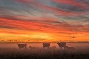 sky nature mist animals sunlight cow landscape