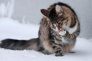 snow cats animals outdoors