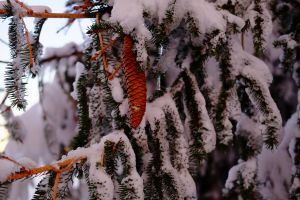 snow winter branch pine trees