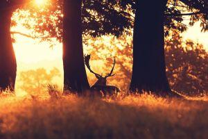 sun rays trees sunlight elk animals nature