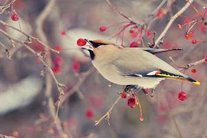 trees birds animals fruit cherries cherry trees
