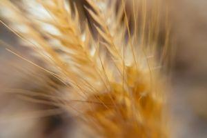 water drops macro wheat macro nature