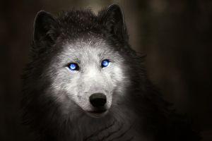 wolf blue eyes animals