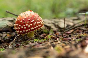 wood nature mushroom mushroom forest fly agaric moss fungus amanita muscaria
