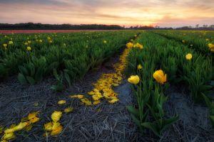 yellow flowers field tulips flowers landscape