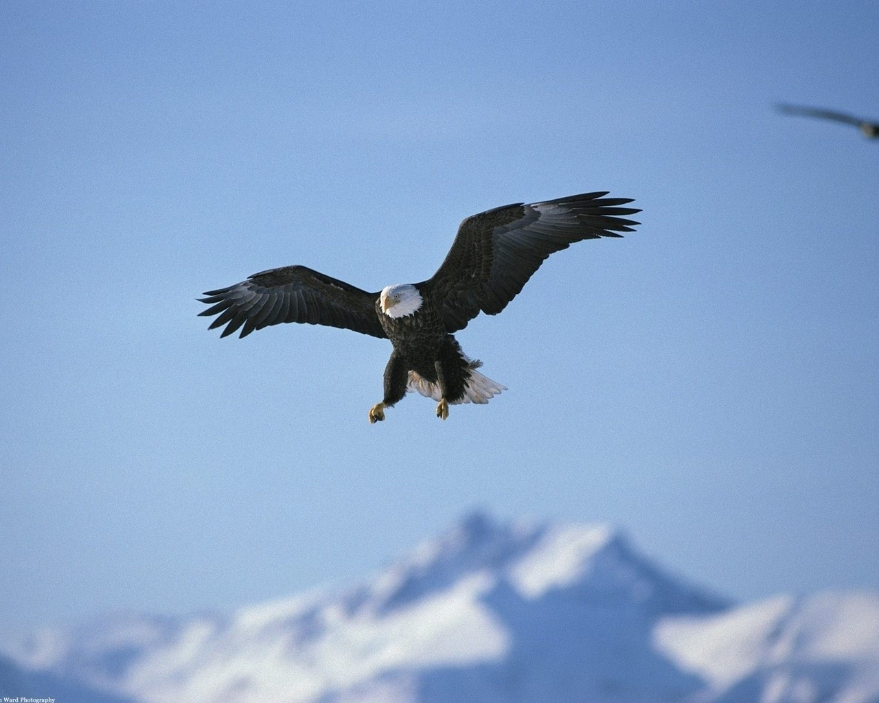 animals fly nature eagle birds