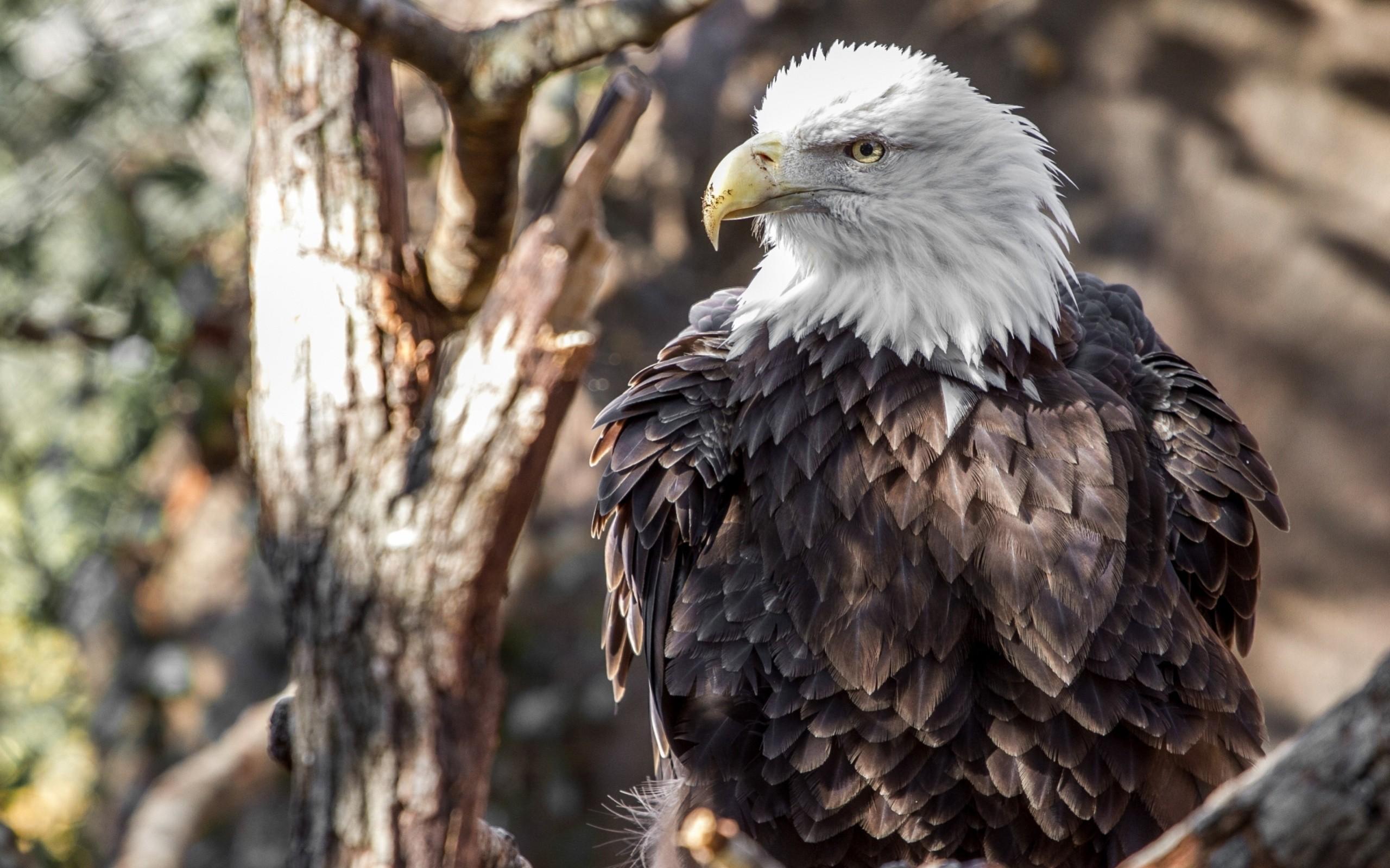birds blurred eagle bald eagle nature animals