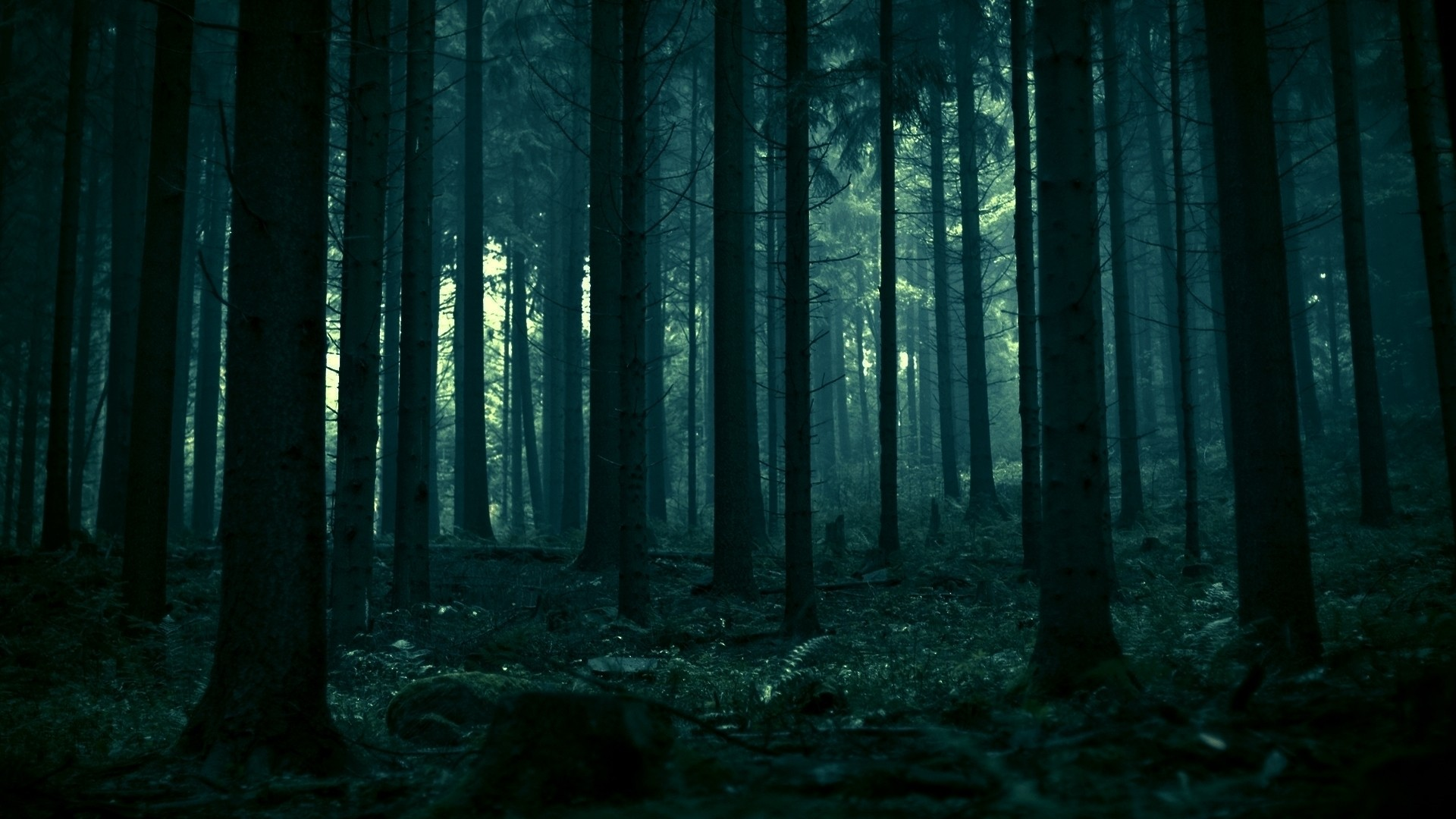 dark spruce trees pine trees forest nature dead trees landscape