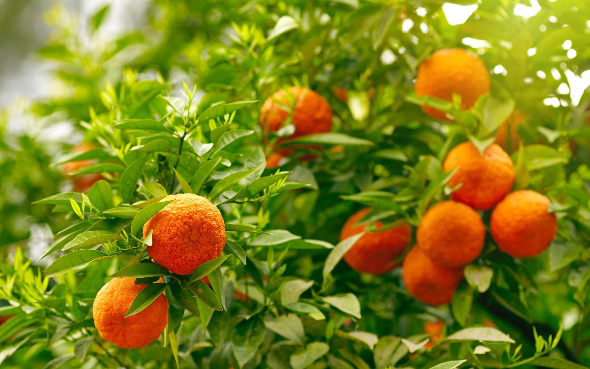 food leaves fruit orange (fruit)