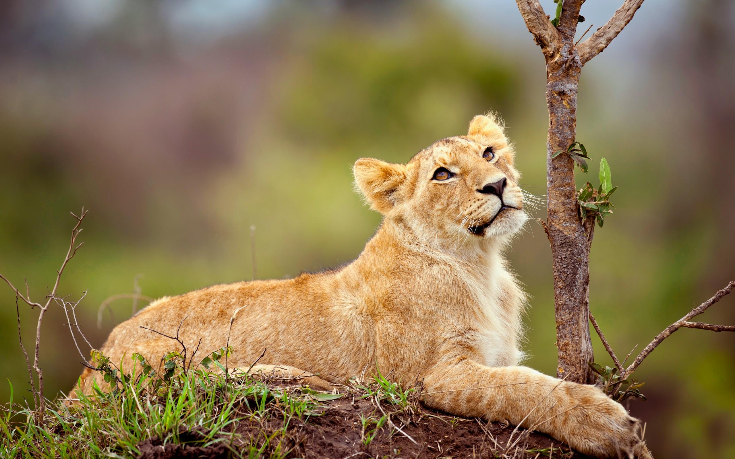 mammals animals lion