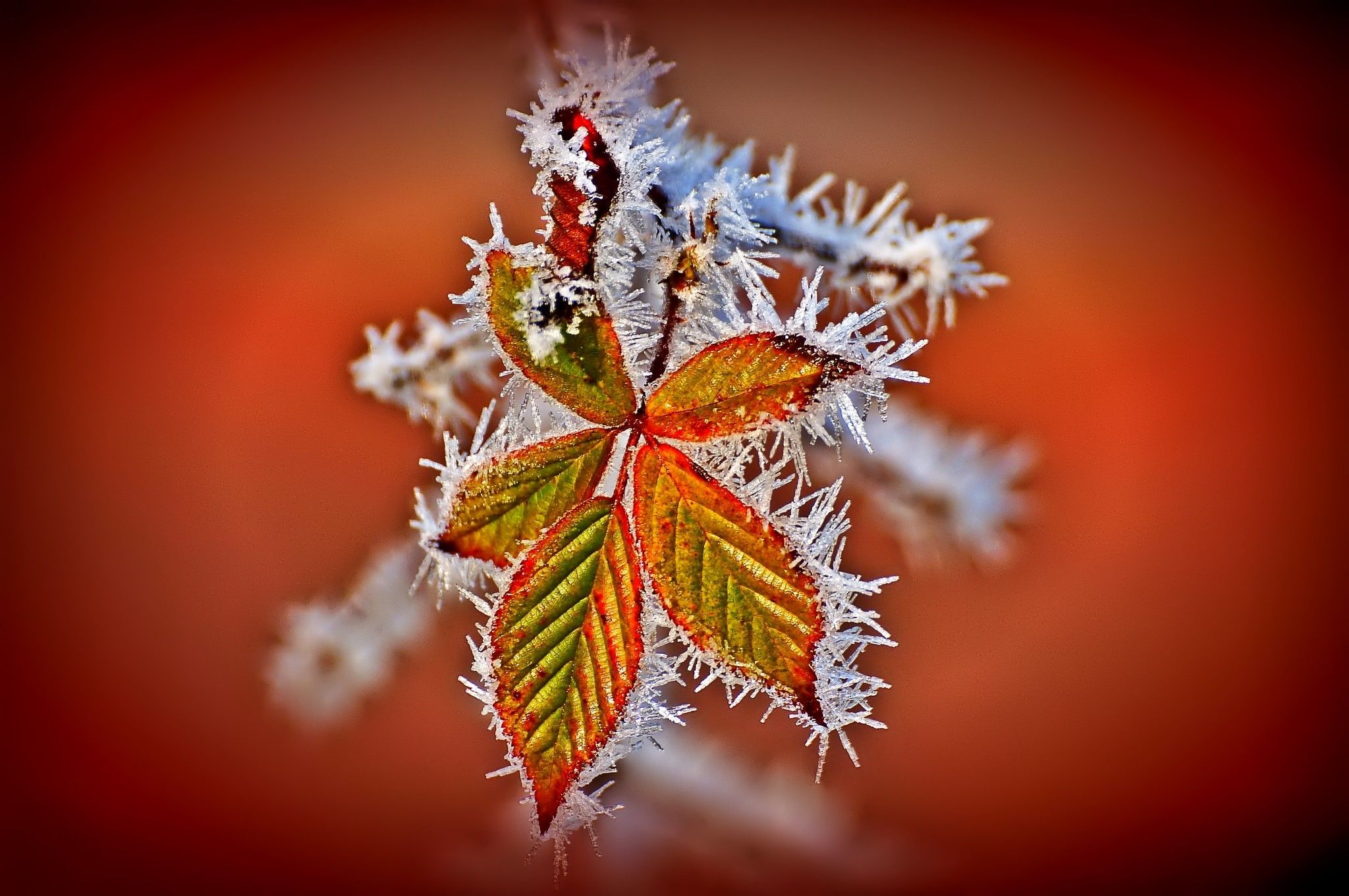 plants frost red background ice leaves