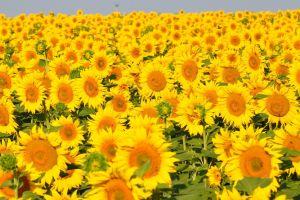 agro (plants) flowers field plants yellow flowers sunflowers