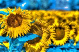 agro (plants) sunflowers flowers field digital art plants