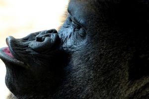 animals apes monkey mammals
